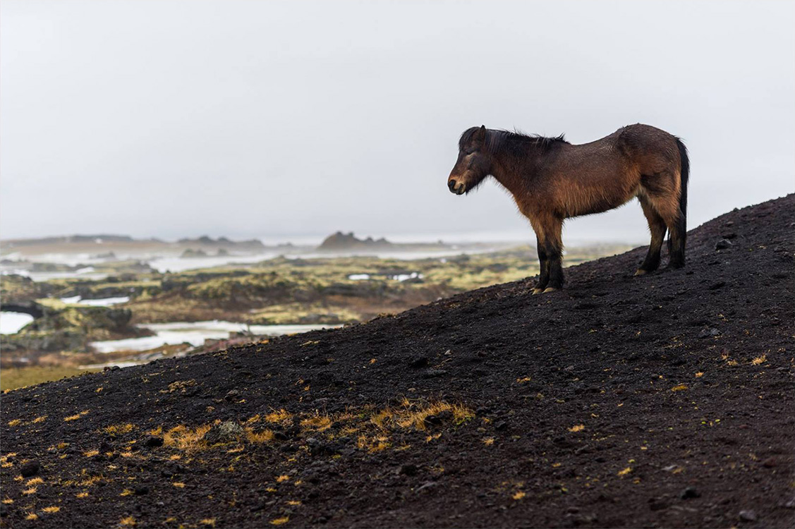 Icelandic horse in a lava field