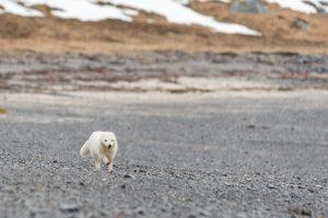 Le renard polaire blanc en hiver